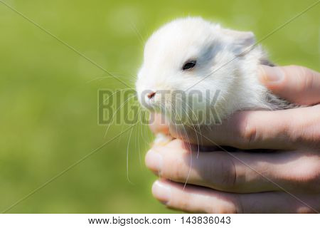Little white bunny in male hands on green background.