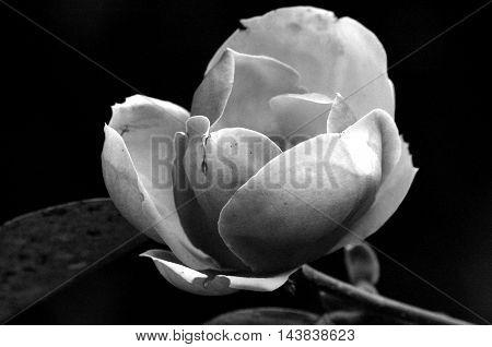 Flor se abrindo em preto e branco.