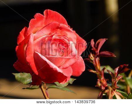 Pink Rose, Closeup