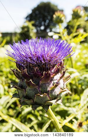 Purple artichoke, cardoon (Cynara cardunculus) growing in a garden.