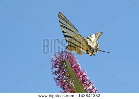 the big beautiful butterfly sits on flower