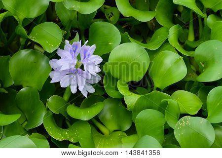 Purple water Lily (Nymphaeaceae) in full bloom