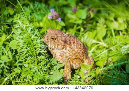 Huge brown toad with mottled skin sits in grass in garden. Closeup