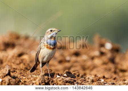A very close shot of a Bluethroat in a farm in Bahrain