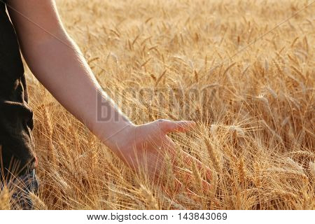 Man touching wheat on a field