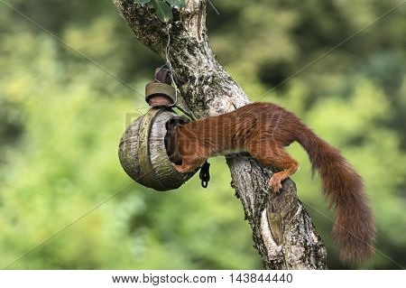 Red squirrel plunders a bird table in fall