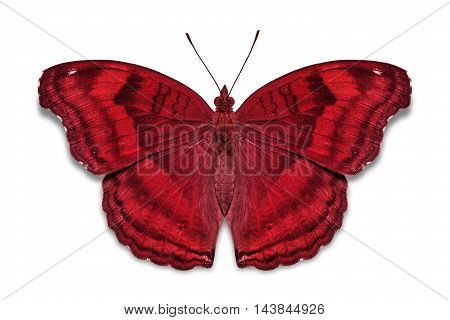 Chocolate Pansy Butterfly