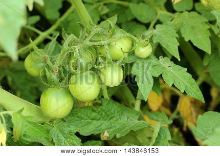 Green tomatoes. Agriculture concept green food background selective focus