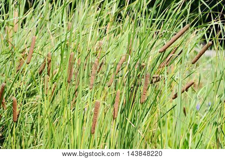close up reeds on the summer lake