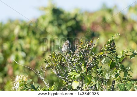 Sleepy-eyed Song Sparrow relaxes on thin branch