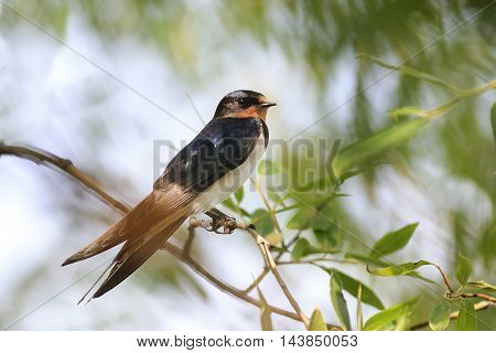 beautiful black swallow sitting on a branch near the water