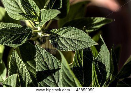 green sage plant leaves outdoor macro closeup