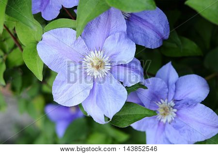 Clematis Flowers With Green Leaves
