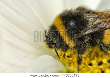 Macro bee on beautiful colorful flowers with white petals
