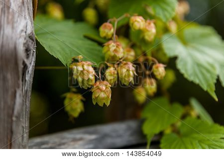 Hop with wooden boards, detailed view, northern Russia.