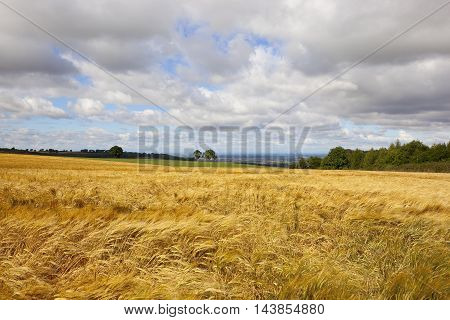 Golden Barley Field
