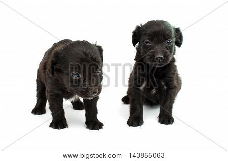 black comic spaniel puppy on white background