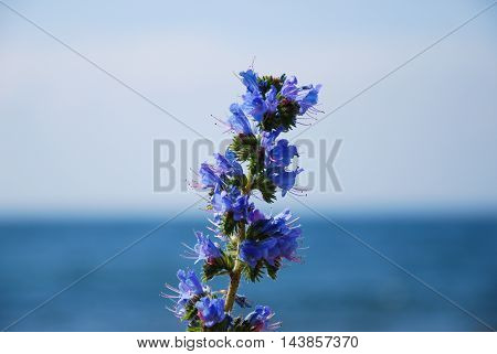 Blueweed closeup with blurred horizon over water in the background