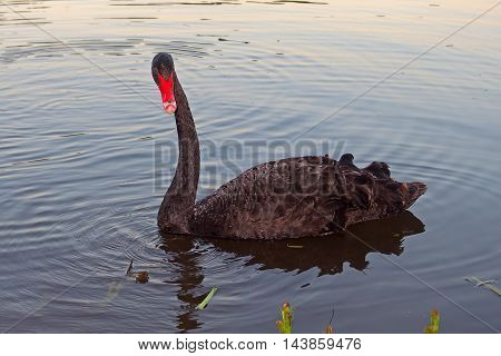 bird black Swan swims in the evening on the blue lake