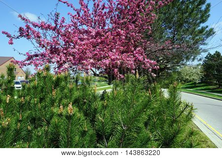 A red pine tree (Pinus resinosa) grows next to a flowering crab apple tree in a traffic island during April in Joliet, Illinois