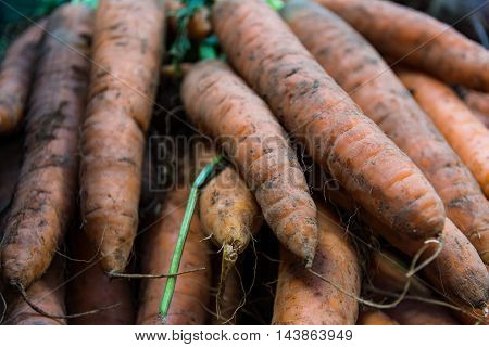 Large Orange Carrots Pulled Fresh from the Earth