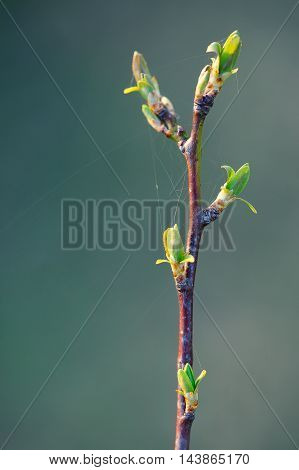 blurred spring background young branch with leaves and buds