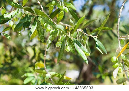 Olive tree branches with green fruits in sunlight over blurred garden background closeup photo with selective focus