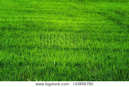 Rice Agriculture In Asia