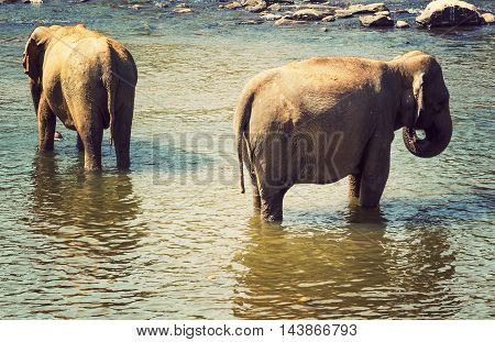 Leisure Elephant In River Outdoor