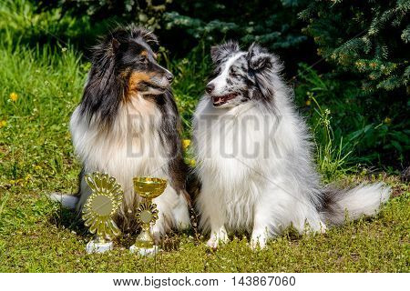 Two Shetland Sheepdog. The Shetland Sheepdogs are on the grass.