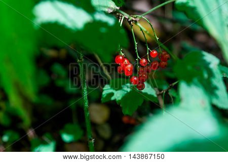 Red currant in the leaves, close-up view