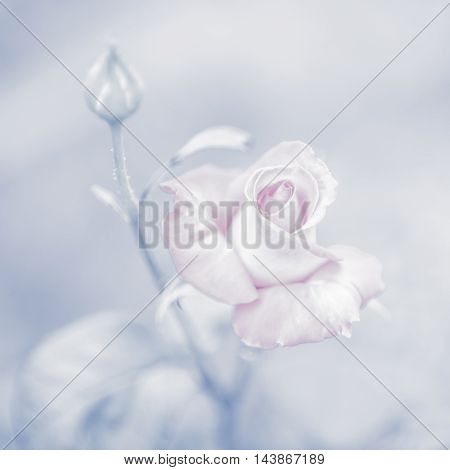 Beautiful pink rose on a light blue background (toned photo)