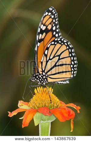Monarch Butterfly On A Flower Danaus plexippus