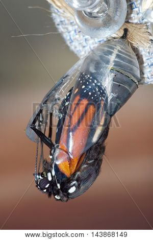 Butterfly Chrysalis Monarch Danaus plexippus Emergent Sequence Image Number 5 of 6