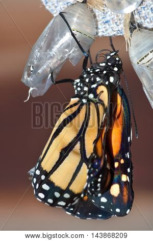 Butterfly Chrysalis Monarch Danaus plexippus After The Emergent Sequence