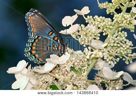 Butterfly Red-Spotted Purple Profile View Limenitis arthemis astyanax