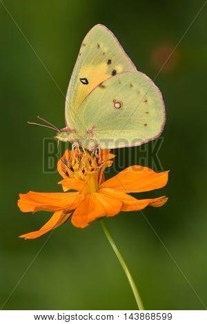 Yellow Butterfly On Orange Flower Pink-edged Sulphur Colias interior