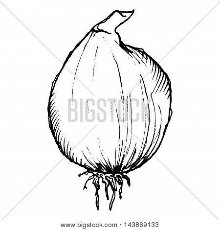 Monochrome spice hot napiform onion vegetable sketched line art vector