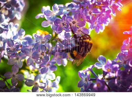 bumble bee pollinating a flower lilac on a beautiful background