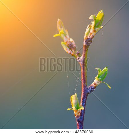 blurred spring background young branch with leaves and buds. Sunset