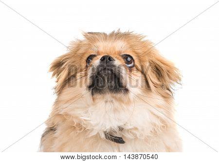 Pekinese dog small portrait on white background