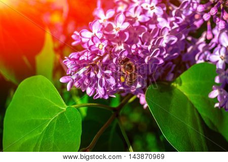 bee pollinating lilac flower in the blurry background at sunset