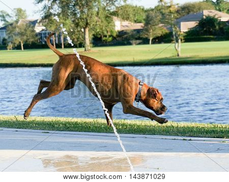 Dog running on the grass behind fountain