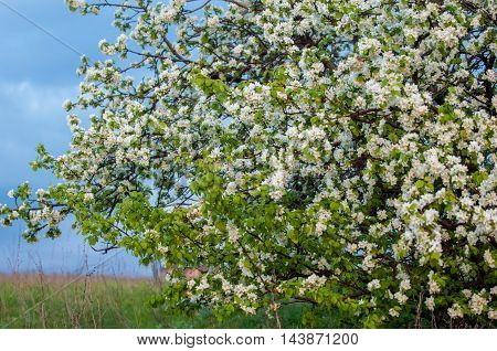Blossoming Apple Tree On Sunset Background