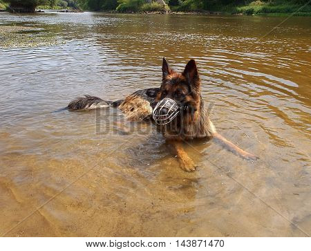 Water shepherd. Spala, Poland  German Shepherd dog at play in the water Pilica.
