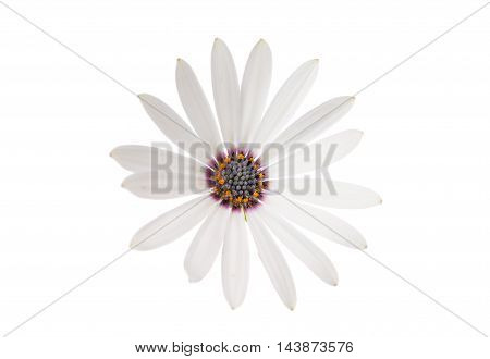White Osteospermum Daisy or Cape Daisy Flower Flower Isolated over White Background. Macro Closeup
