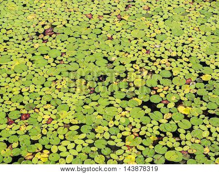 The colorful floating leaves of a water lily (Nymphaea odorata) on the lake as a natural background