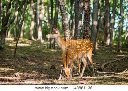 Female Deer In The Woods