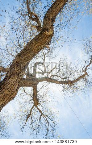 Diversifolia Schrenk, Populus Euphratica,  Euphrates Poplar,  Poplar
