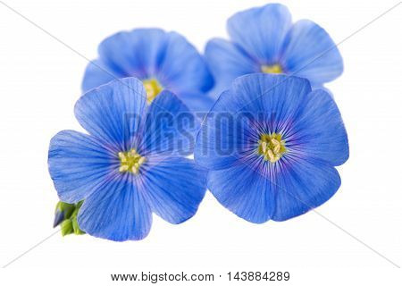 flax  blue flower on a white background